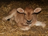 11-canossa-vitellino